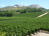 Vineyards around Paarl
